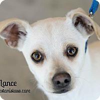 Adopt A Pet :: LANCE - Modesto, CA