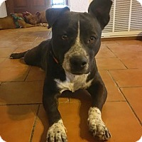 Adopt A Pet :: Bisque - Fort Collins, CO