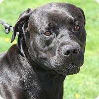 Adopt A Pet :: Brutus - Marietta, OH