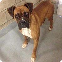 Adopt A Pet :: Brocket - Denver, CO