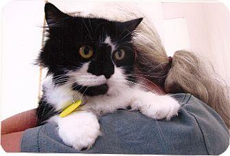 Persian Cat for adoption in Davis, California - Mommy Khatt