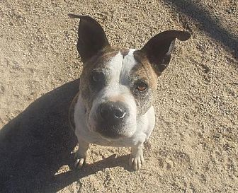 Boxer Mix Dog for adoption in Encino, California - Dolly