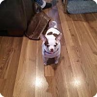 Adopt A Pet :: Twinky - bridgeport, CT