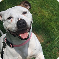Pit Bull Terrier Mix Dog for adoption in Wethersfield, Connecticut - Sia