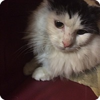 Adopt A Pet :: Snickers - Clay, NY