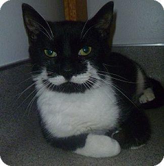 Domestic Shorthair Cat for adoption in Hamburg, New York - Stewart