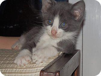 Domestic Shorthair Kitten for adoption in Bloomingburg, New York - PIGGY