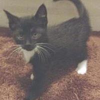 Domestic Shorthair Kitten for adoption in Miami, Florida - Morning