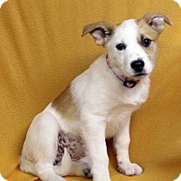 Adopt A Pet :: Bello - Westminster, CO