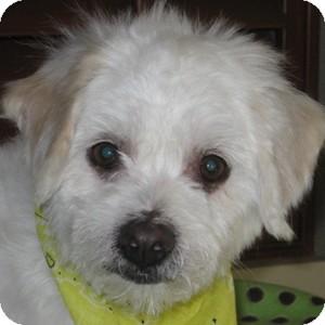 Bichon Frise Mix Dog for adoption in La Costa, California - Harley