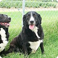 Adopt A Pet :: BREWSKY AND SABRINA - bonded pair - Tunica, MS
