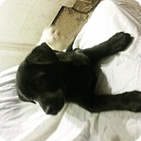 Adopt A Pet :: Ebony - Detroit, MI