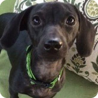 Dachshund Mix Dog for adoption in Houston, Texas - Fabian Fivestar