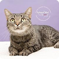 Domestic Shorthair Cat for adoption in Mesa, Arizona - Daisy