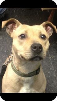 American Pit Bull Terrier Mix Puppy for adoption in South Park, Pennsylvania - Suede