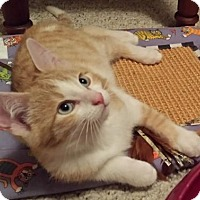 Domestic Shorthair Kitten for adoption in Kohler, Wisconsin - Parsons
