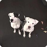 Adopt A Pet :: Vega - Sharon Center, OH