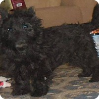 Adopt A Pet :: Piper - Fairmont, WV