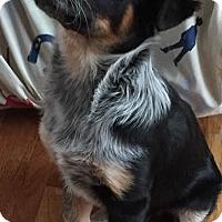 Adopt A Pet :: Ringo - Minneapolis, MN
