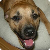 Adopt A Pet :: Shobie!  Easy Going! - St Petersburg, FL