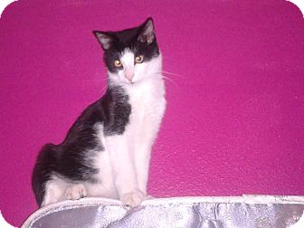 Domestic Shorthair Cat for adoption in Scottsdale, Arizona - Good Kitty (courtesy post)
