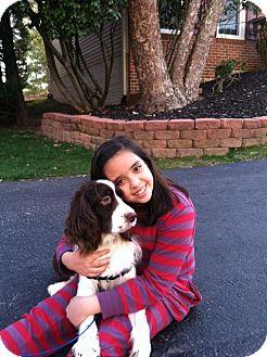 English Springer Spaniel Mix Dog for adoption in Alexandria, Virginia - Bailey