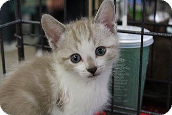 Snowshoe Kitten for adoption in Santa Monica, California - Jimmy