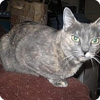 Domestic Shorthair Cat for adoption in Agoura Hills, California - Camry