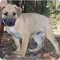 Adopt A Pet :: Boy pup - Little River, SC