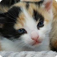 Adopt A Pet :: Penny-Big Bang Bunch - Florence, KY
