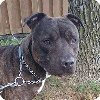 American Pit Bull Terrier Mix Dog for adoption in West Warwick, Rhode Island - Whinny the Pooch( URGENT)(