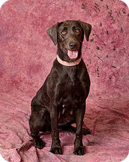 Labrador Retriever Mix Dog for adoption in Harrisonburg, Virginia - Dolly Pawton