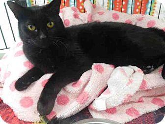 Domestic Mediumhair Cat for adoption in McKinleyville, California - EVE