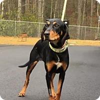 Adopt A Pet :: Ava - Cashiers, NC