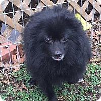 Adopt A Pet :: Raven - Kansas City, MO