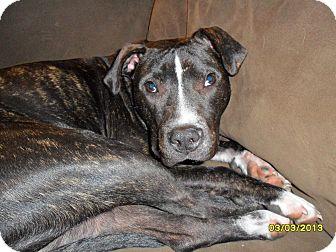 American Pit Bull Terrier Mix Dog for adoption in Roaring Spring, Pennsylvania - Ferguson
