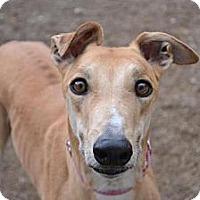 Adopt A Pet :: Stubby (Gable Stubby) - Chagrin Falls, OH