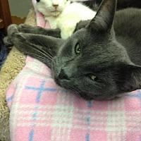 Domestic Mediumhair Cat for adoption in Fresno, California - Bubbles