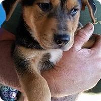 Adopt A Pet :: Steeler - Gainesville, FL
