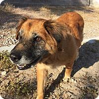 Adopt A Pet :: Ginger 1 - Las Vegas, NV