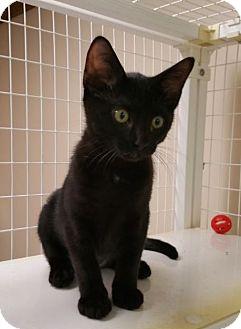 Domestic Shorthair Kitten for adoption in MARENGO, Illinois - Olivia