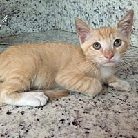Domestic Shorthair Kitten for adoption in Sunny Isles Beach, Florida - Mango