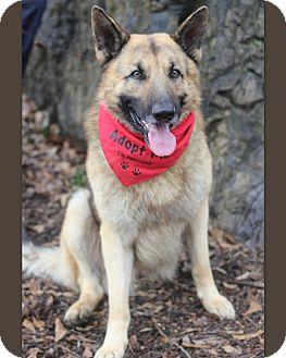 German Shepherd Dog Dog for adoption in Dalton, Georgia - Ace