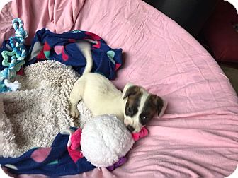 Terrier (Unknown Type, Small)/Jack Russell Terrier Mix Puppy for adoption in New York, New York - Bennie