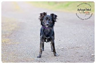 Chihuahua/Whippet Mix Dog for adoption in Seattle c/o Kingston 98346/ Washington State, Washington - Queenie