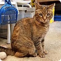 Adopt A Pet :: Coco - Lombard, IL