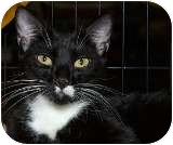 Domestic Shorthair Cat for adoption in Sacramento, California - Bentley