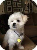 Shih Tzu/Poodle (Miniature) Mix Dog for adoption in Boulder, Colorado - Carmichael