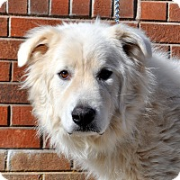Adopt A Pet :: Cola - Indian Trail, NC