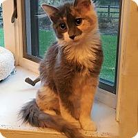 Adopt A Pet :: Cali Lily - Bentonville, AR